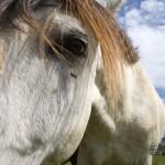 Gardiennage de chevaux en gîte équestre