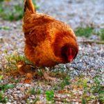Le dernier poussin et sa mère poule