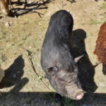 La poule, le cochon, et la brebis